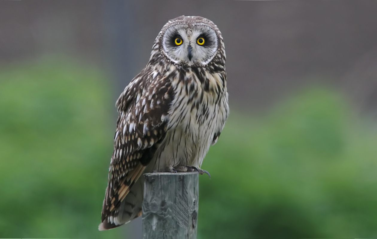 NORWAY:  Short-eared Owl